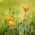 California Poppy by Kimberly Palmer