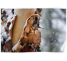 Appealing River Birch Poster
