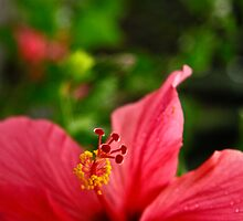 Red Hibiscus by Valerie Loho