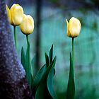 three yellow tulips by CheyAnne Sexton