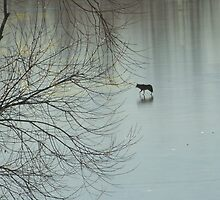 coyote on thin ice by rickpeggi