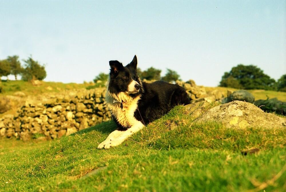 Border Collie Country  by Michael Haslam