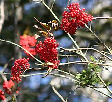 Red Berries by terrebo