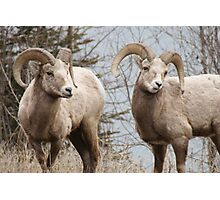 Couple of Rams Photographic Print
