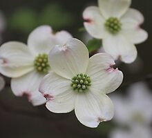Dogwood Blossom by jpulley