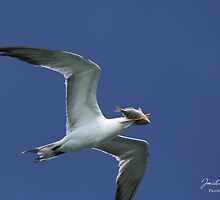 Royal Tern Bird with Fish by JonathanHunt