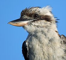Kookaburra Profile by jozi1