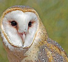 Barn Owl Portrait  by Judy Grant