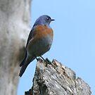 Western Bluebird by SKNickel