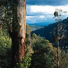 Mountan Ash (Eucalyptus regnans) by Ern Mainka