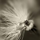 Soft Dandelion Seed Study by Lesley Smitheringale