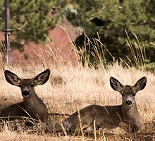 Two Deer by KaylynneM