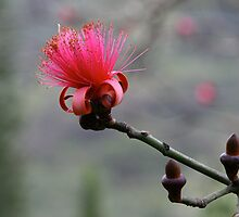 Shaving Brush Tree Flower by CherilynJoy