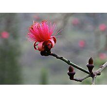Shaving Brush Tree Flower Photographic Print