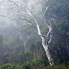 Eucalypt, Budawangs, NSW by Harry Oldmeadow