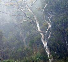 Eucalypt, Budawangs, NSW by Harry Oldmeadow