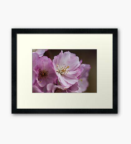 Cherry Blossoms Framed Print