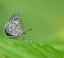 Pale Hedge Blue by Tony Wong