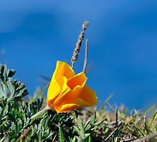 California Poppy by Richard  Leon
