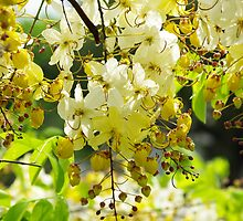 Yellow Cassia by Rainy