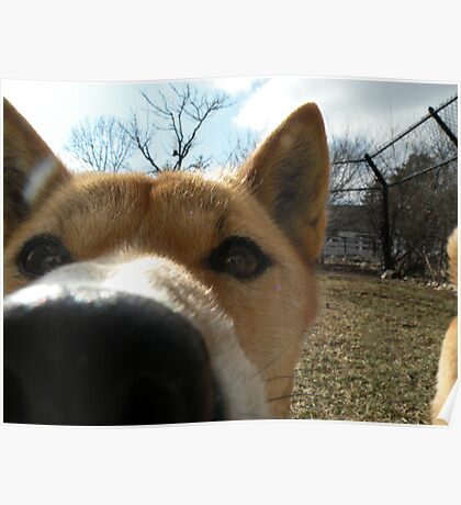New Guinea Singing Dog Close-up Poster