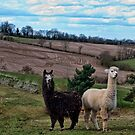 Alpacas~ by WJPhotography