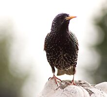 Starling by Christopher Wardle-Cousins