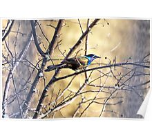 Grackle Beauty Poster