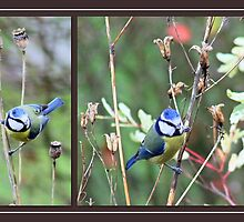 Blue tit posers by missmoneypenny