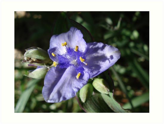 Tradescantia hirsuticaulis- Hairy Flower Spiderwort Bush by May Lattanzio