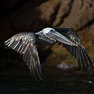 Pelican Flight by Andreas Mueller