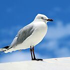 Rottnest Seagull by Colin  Williams Photography