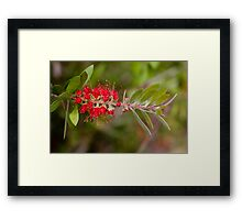 Wattle Brush Framed Print