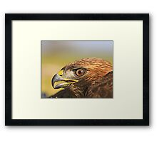 Red Tail Hawk - Family:  Accipitriformes Framed Print