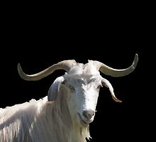 Portrait of a Horned Goat Grazing Vector by taiche