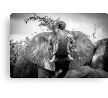 Silly Elephant Canvas Print