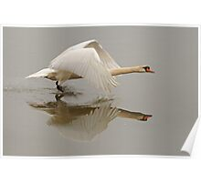Swan Taking Flight Poster