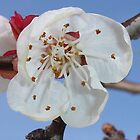 Apricot Blossom Macro by taiche