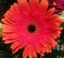 Gerber Daisy, Red by RegMan56