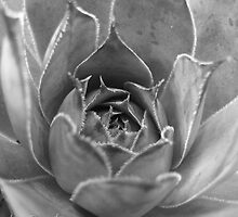 Hens and Chicks B&W by Janine Benedict