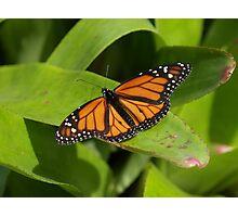 Orange Zinger --- Monarch Butterfly Photographic Print