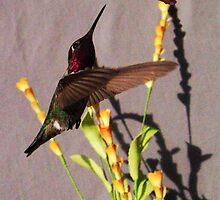 23 Rufus Hummingbird Gray Background by ptosis