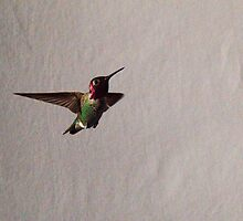 231 Rufus Hummingbird Gray Background by ptosis