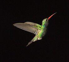 232 Magnificent Hummingbird BlackBackground by ptosis