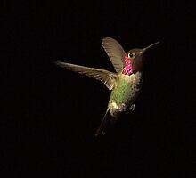 233 Rufus Hummingbird Black Background by ptosis