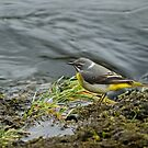 Grey Wagtail by Jamie  Green