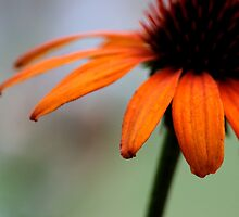 Orange Flower by laurenpretorius