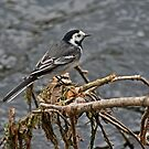 Pied Wagtail by Jamie  Green