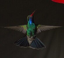 23 5Magnificent Hummingbird by ptosis