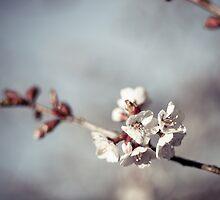 cherry blossom by eyeshoot
